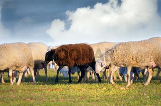Shepherd with sheeps in a meadow