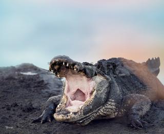 Large American Alligator