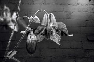 Akelei Blüte als Mauerblümchen