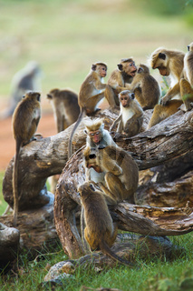 Ceylon-Hutaffen - Bundalla NP, Sri Lanka