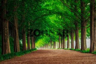 Damyang metasequoia road