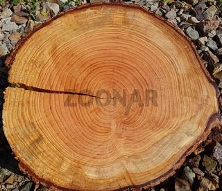 Jahresringe; Baumscheibe; Fichte