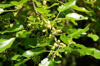 Morus alba, Weiße Maulbeere, White Mulberry