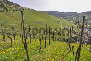 Fruehling in den Weinbergen unterhalb der Yburg