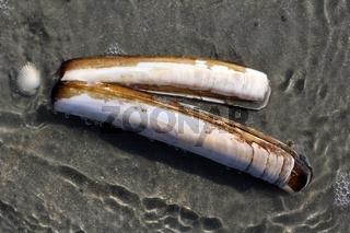 Schwertmuscheln im Meerwasser