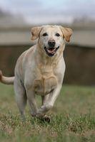 blonder Labrador Retriever