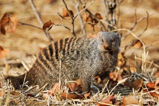 Gebänderte Manguste, Kruger NP, Südafrika - banded mongoose, Kruger NP, South Africa