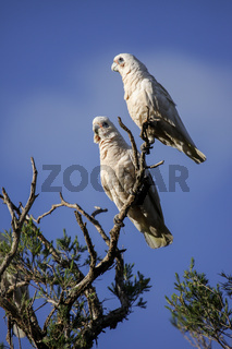 Couple of Little Corellas sitting on a branch against a blue sky, Dunsborough, Western Australia