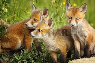 european red fox brothers standing together near the den ( Vulpes )