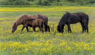 Three Islandic Horses in Yellow Maedow
