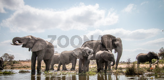 Drinking herd of Elephants.