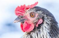 Huhn im Winter