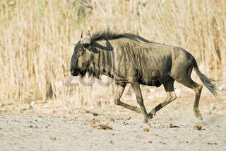 Streifengnu, Gnu (Connochaetes taurinus) im ausgetrockneten Flussbett des Boteti, Khumaga, Makgadikgadi Pans National Park, Botswana, Afrika, Blue Wildebeest in the dry riverbed, Boteti River, Africa