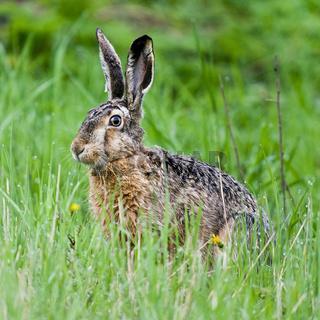 Feldhase auf einem Getreidefeld / brown hare on a field