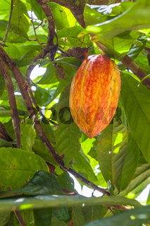 Cacao plant with fruits