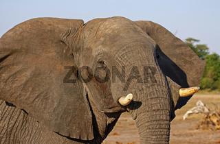 Porträt, afrikanischer Elefant (Loxodonta africana) im Chobe Nationalpark, Botswana