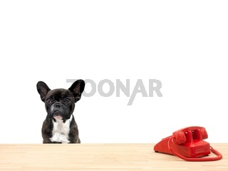 A french bulldog in an office situation