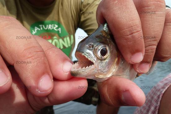 Piranha shows its sharp teeth, Rio Negro, Brazil