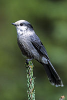 Meisenhaeher / Perisoreus canadensis