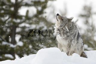 lästiger Schnee... Kojote *Canis latrans*