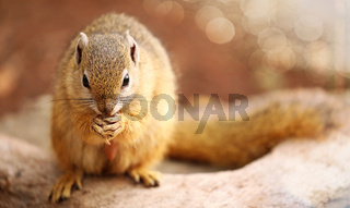 Hörnchen, Kruger Nationalpark, Südafrica; squirrel, south africa, wildlife