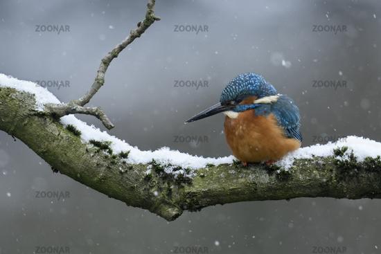 Wintereinbruch... Eisvogel *Alcedo atthis* bei Schneefall