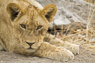 Junger Loewe (Panthera leo), Chobe National Park, Botswana, Afrika, young Lion, Africa