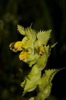 Zottiger Klappertopf Rhinanthus alectorolophus