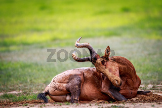 Red hartebeest in the mud.