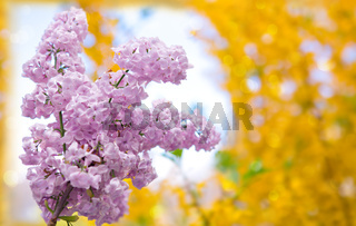 Pink Lilac flowers isolated on blurred background.