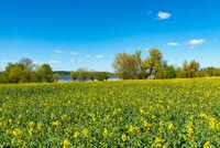 Blühender Raps in Mecklenburg im Frühjahr
