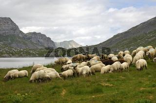 Schafe auf der Suche nach Gläckfutter