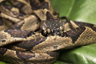 Natter Leptodeira ornata, Amazonas Regenwald, Canande River Naturschutzgebiet, Choco forest, Ecuador