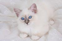 HEILIGE BIRMA KATZE, BIRMAKATZE, SACRED CAT OF BIRMA, BIRMAN CAT,BLUEPOINT, KITTEN,