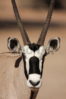 Spießbock Oryxantilope, Kalahari, Südafrika