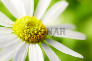 Chamomile flower.