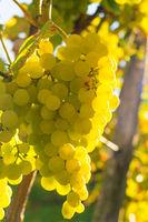Helle reife Weintrauben hängen an einer Rebe, stimmungsvoll beleuchtet durch die warme Morgensonne