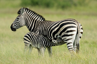 Plains Zebra with foal