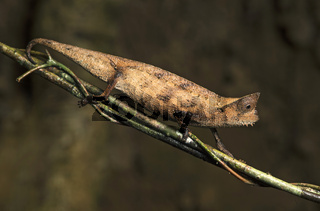 Brown leaf chameleon (Brookesia superciliaris), Andasibe Nationalpark, Madagaskar