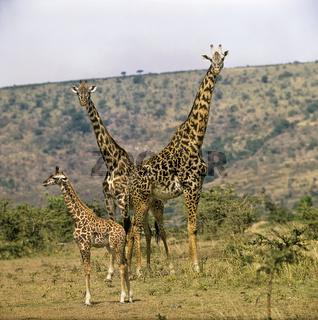 Giraffen, Paar mit Jungtier, Giraffa camelopardalis, Masai Mara, Afrika