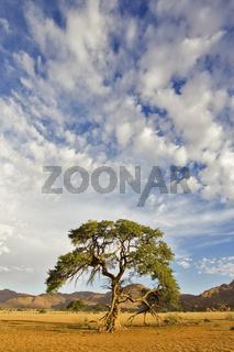 Kameldorn, Kameldornbaum (Acacia erioloba), Tirasberge, Namibia, Afrika, camelthorns, camel thorns, Tiras Mountains, Africa
