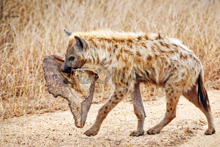 Tüpfelhyäne mit Beute, Kruger Nationalpark, Südafrica; hyena with a piece of a carcass, south africa, wildlife