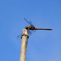 Libelle, Grosslibelle
