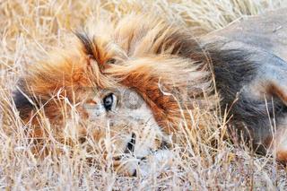 Löwe liegt faul im Gras, Südafrika, lion lying in the grass, South Africa