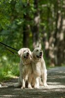 Two retriever in the park