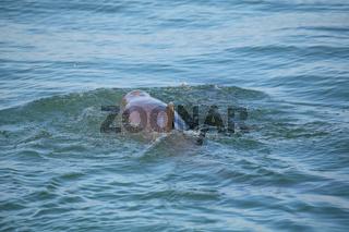 Common bottlenose dolphin showing dorsal fin