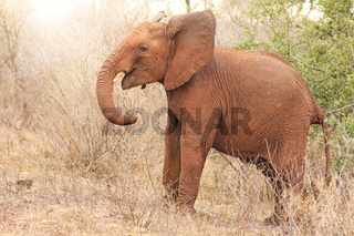 Junger Elefant im Kruger Nationalpark Südafrika; young african elephant south africa, wildlife
