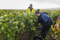 Harvest Workers Vineyard Campagne Verzernay