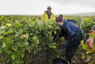 Harvest Workers Vineyard Campagne Verzernay