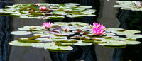 Waterlily Panorama